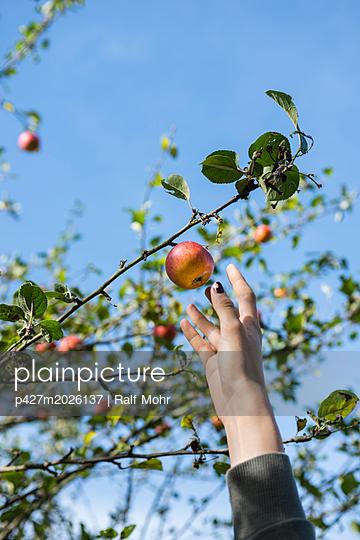 Äpfel pflücken - p427m2026137 von R. Mohr