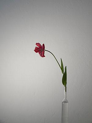 Tulip - p444m1041388 by Müggenburg