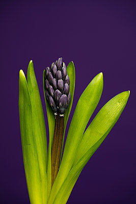 Blooming purple hyacinth flower - p919m2193287 by Beowulf Sheehan