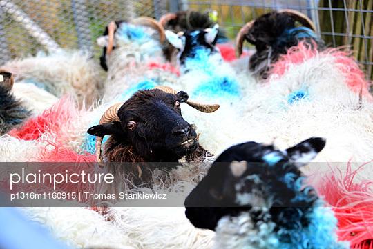 Schafe an der Straße 336 im Connemara, Irland - p1316m1160915 von Thomas Stankiewicz