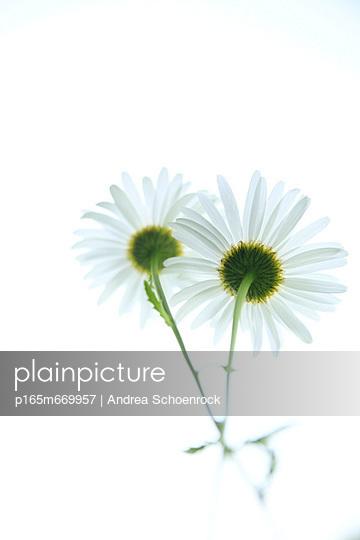Blühen - p165m669957 von Andrea Schoenrock