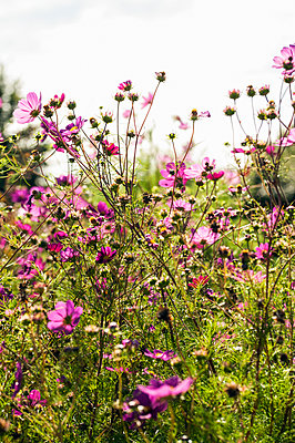 Abundant display of cosmos plants with pink flowers - p1047m2141911 by Sally Mundy