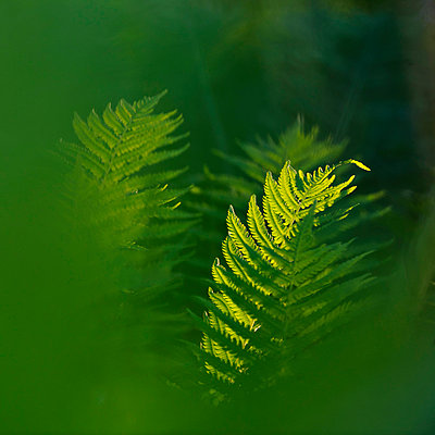 Close-up of fern leaves - p575m841409f by Mikael Svensson