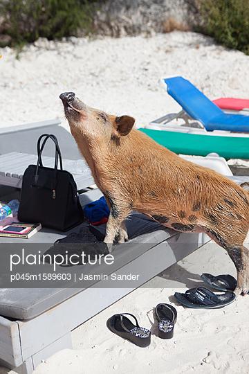 Schwein will auf Liegstuhl klettern - p045m1589603 von Jasmin Sander