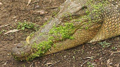 Freshwater crocodile - p1016m792516 by Jochen Knobloch