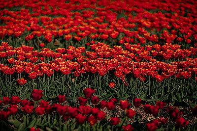 Red tulip field - p300m2189469 by Oxana Guryanova