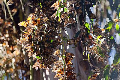 Monarch butterflies hang on eucalyptus trees in Goleta, California. - p343m1184414 by Keri Oberly