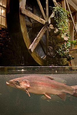 Fisk i akvarium vid vattenhjul - p3486193 by Sara Pettersson