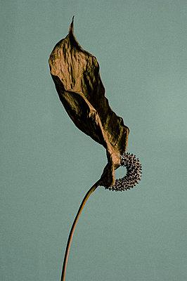 Dead calla - p1088m854055 by Martin Benner