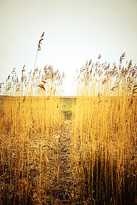 A path worn through a patch of reeds with a desolate grassy area beyond - p1302m2037825 by Richard Nixon
