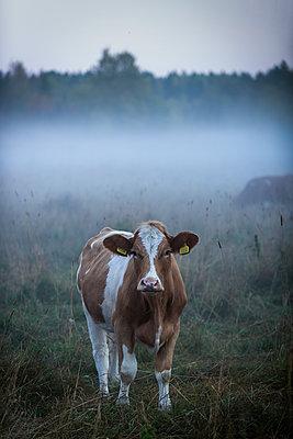 Kuh auf dem Feld bei Nebel - p1418m1572250 von Jan Håkan Dahlström