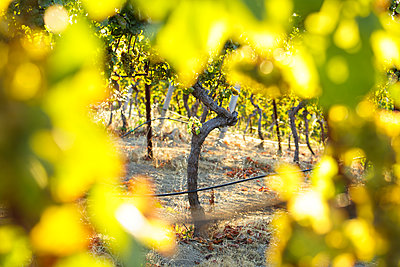 Sunset light shining through grape vines Woodside - p343m1443410 by Clay McLachlan