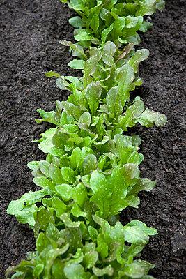Row of baby lettuce in garden - p5756037f by Kippel, Karna, Lina