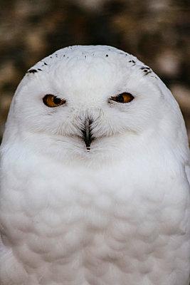 Portrait of snowy owl - p586m1109873 by Kniel Synnatzschke