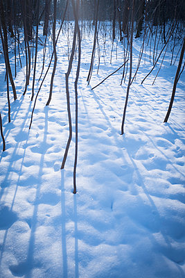 Bare trees sunlight forest snow Silhouette winter - p609m1127630 by WRIGHT