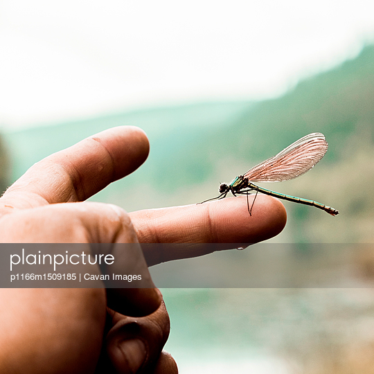 Close-up of dragonfly perching on boy's finger - p1166m1509185 by Cavan Images
