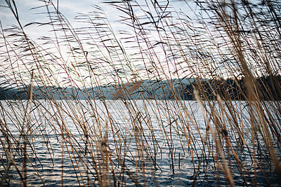 Common reed at a lake in Finland - p1455m2054151 by Ingmar Wein