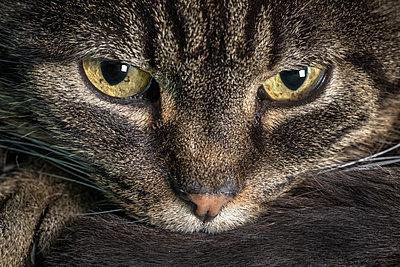 Tigerkatze - p745m1060999 von Reto Puppetti