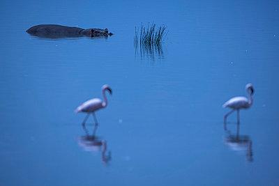Flamingos - p745m740110 by Reto Puppetti