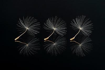 Three Dandelion seeds on a black reflective surface - p1302m2185014 von Richard Nixon