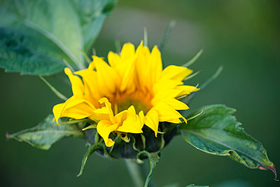 Sunflower - p300m1166866 by Mandy Reschke