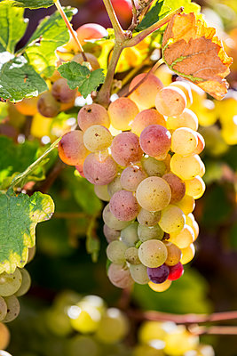 Close-up of a cluster of multi coloured white grapes hanging from a vine with colourful leaves, South of Trier; Germany - p442m2091780 by Michael Interisano