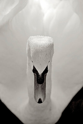 Swan - p5450078 by Ulf Philipowski