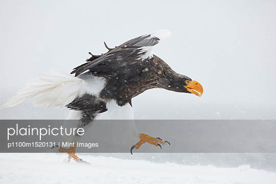 Steller's Sea Eagle, Haliaeetus pelagicus, landing on frozen bay in winter. - p1100m1520131 by Mint Images