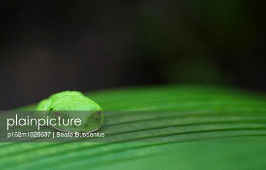 Rotaugenlaubfrosch - p162m1025637 von Beate Bussenius