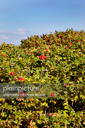 Hedge with rosehips - p382m2053118 by Anna Matzen