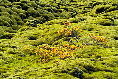 Moss covered lava with a small shrub along the South coast of Iceland; Iceland - p442m2008864 by Robert Postma