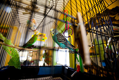 Budgie - p6692540 by Kelly Davidson