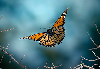 Monarch butterfly flying - p884m864696 by Stephen Dalton