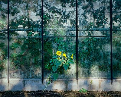 Sunflowers - p1132m1020453 by Mischa Keijser