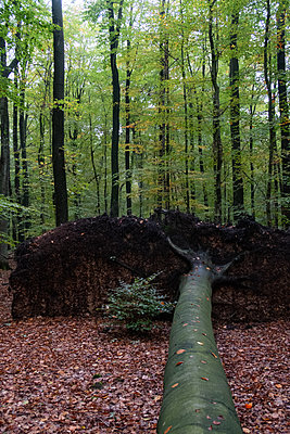 Nach dem Sturm im Wald - p1212m1572595 von harry + lidy