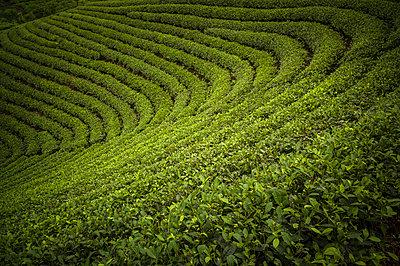 Tea Plantations near Doan Hung in Yen Bai Province, Vietnam - p934m1022149 by Sebastien Loffler