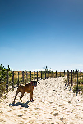 Dog walking on a sand road near a beach at le Cap Ferret in France - p1619m2199944 by Laurent MOULAGER