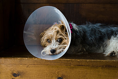 Small dog with veterinary cone on after surgery laying on a bench. - p1166m2136362 by Cavan Images