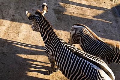 Zebrafohlen - p2190203 von Carsten Büll