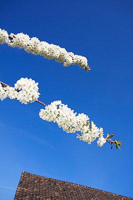Cherry blossom - p228m716076 by photocake.de