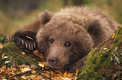 Grizzly Bear cub in forest in fall - p884m864560 by Matthias Breiter