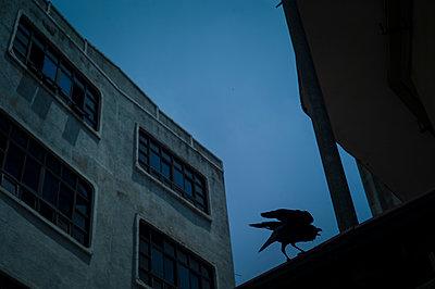 Gloomy picture of a raven, Kandy, Sri Lanka, Asia - p934m1558816 by Sebastien Loffler