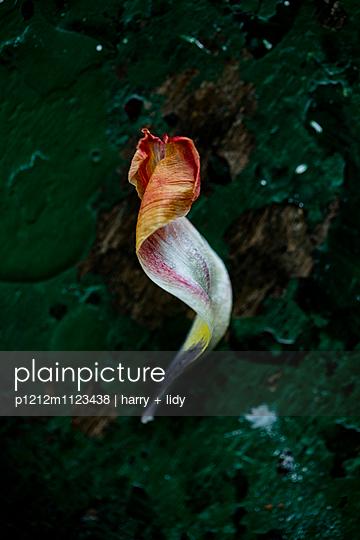Tulpenblatt - p1212m1123438 von harry + lidy