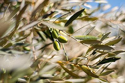 Olive tree - p1153m951236 by Michel Palourdiau