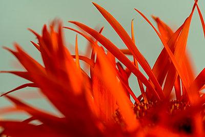Gerbera, Orange coloured petals - p427m2098830 by Ralf Mohr