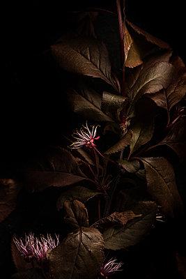 Blutpflaume im Dunkeln - p947m1194505 von Cristopher Civitillo