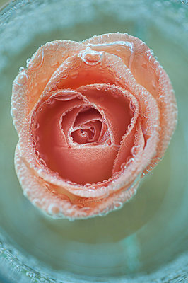 Pink rose in water - p971m931429 by Reilika Landen
