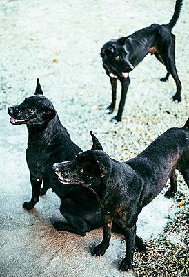 Drei Straßenhunde in Thailands Nationalpark Kaeng Kra-Chan - p728m1559755 von Peter Nitsch