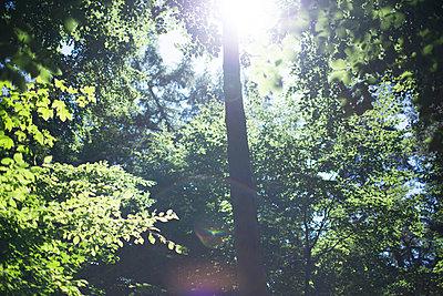 Wald lens flare - p1085m987293 von David Carreno Hansen