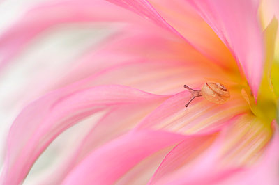 A small snail in a pink flower - p1144m967521 by Trui  Alink